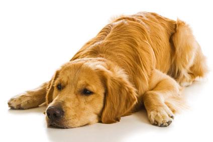 Elektryczna obroża do tresury psów